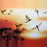Mayflies at sunset