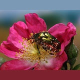 Rose Chafer on a rose