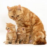 Ginger British Shorthair mother cat and kittens