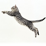 Silver tabby cat leaping