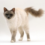 Blue Birman female cat