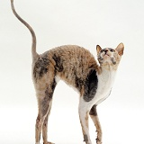 Rex cat with arched back