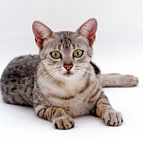 Silver Egyptian Mau female cat