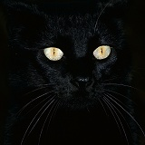 Black cat with pupils closed in bright light