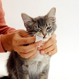 Cleaning teeth of a kitten using a finger pad