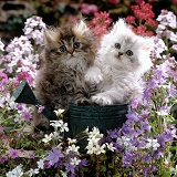 Chinchilla Persian kittens with flowers