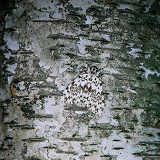 Black Arches Moth camouflaged on Birch bark