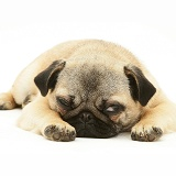 Fawn Pug bitch lying with chin on floor
