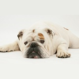 Red-and-white Bulldog with chin on floor