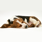 Sleeping Basset pup