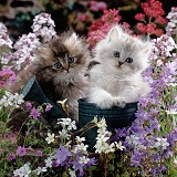 Fluffy kittens in watering cans and flowers