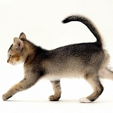 Kitten walking