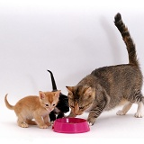 Cat and kittens eating from a bowl