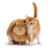 Ginger kitten and sandy lop rabbit
