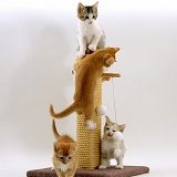 Kittens playing on a scratch post