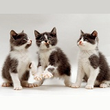 Three playful grey-and-white kittens