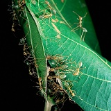 Green Tree Ants making a nest