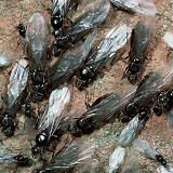 Garden Black Ant winged males and females
