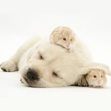 Sleepy Retriever-cross pup with hamsters
