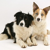 Red merle and black-and-white Border Collies