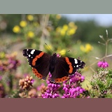 Red Admiral on heather