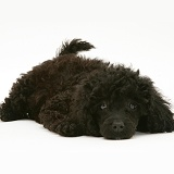 Black Miniature Poodle lying with chin on floor