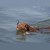 Chesapeake Bay Retriever retrieving a stick