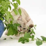 Bengal x Birman cat eating a catmint plant