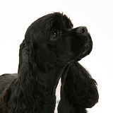Black American Cocker Spaniel