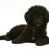Black Miniature Poodle lying with head up