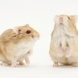 Two Dwarf Siberian Hamsters