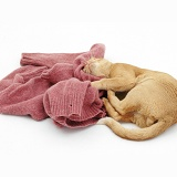 Red Burmese male cat rolling with woollen jumper