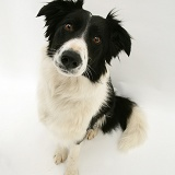 Black-and-white Border Collie bitch