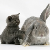 Grey kitten with grey windmill-eared rabbit