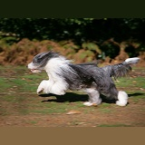 Bearded Collie running