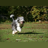 Bearded Collie running forwards