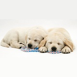 Yellow Goldador Retriever pups asleep