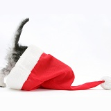 Silver tabby kitten with its head in a Santa hat