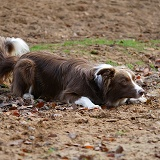 Chocolate-and-white Border Collie in herding position