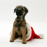 Border Terrier pup in a Santa hat