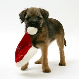 Border Terrier pup chewing a Santa hat