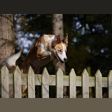 Sable-and-white Border Collie jumping a fence