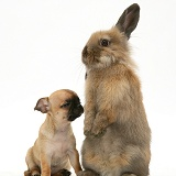 Chihuahua pup and Lionhead rabbit
