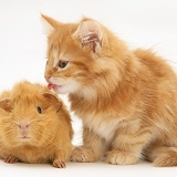 Ginger Maine Coon kitten licking a ginger Guinea pig