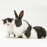 Black-and-white kitten with grey-and-white Dutch rabbits