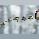 Blue tit alighting sequence