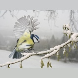 Blue Tit alighting on a snowy hazel branch