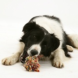Black-and-white Border Collie chewing a ragger toy