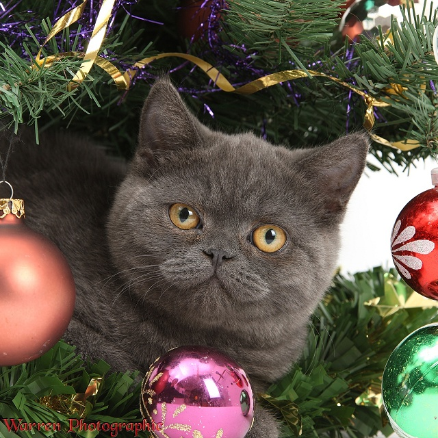 Grey kitten under a Christmas tree