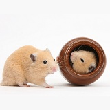 Golden Hamsters playing with a china pot
